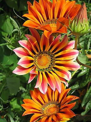FLOWER GAZANIA SUNSHINE HYBRID MIX 120 SEEDS  ANNUAL