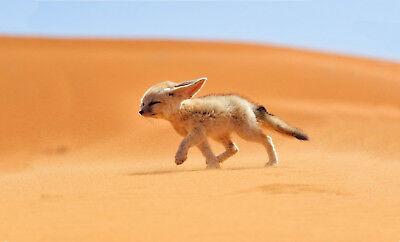 Gerahmter Druck Fennec Fox von der Sahara Wüste Bild Plakat Wildes Tier