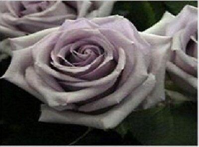 25 Hell Lila Rosensamen Nr 4