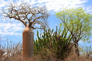 5-Affenbrotbaeume-Fony-Baobab-semi-Palmen-Samen-Palms-Caudex-korn-Semillas