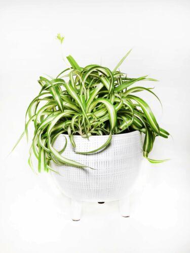 Curly Spider Plant Chlorophytum comosum