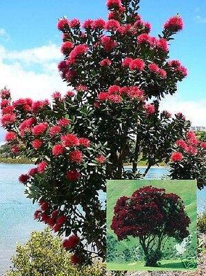 Saatgut roter Weihnachtsbaum aus Neuseeland //// Eukalyptusduft gegen Ungeziefer