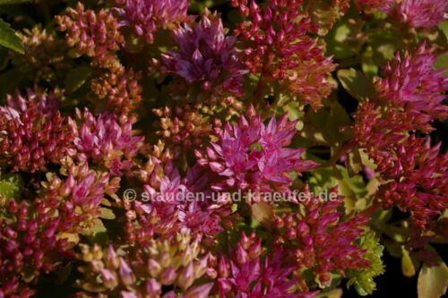 """Pflanze im 9x9cmTopf Garten-Teppich-Fettblatt Sedum spurium /""""Summer Glory/"""""""