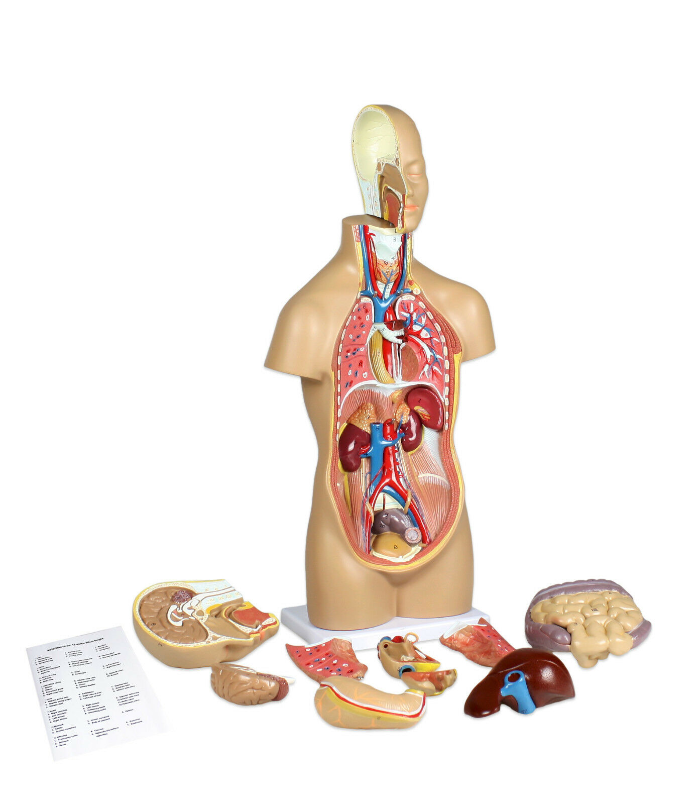 Erfreut Anatomie Torso Modell Markiert Ideen - Anatomie Ideen ...