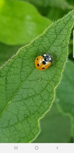 100 Ladybirds adultes-contrôle les pucerons Greenfly /& MOUCHE NOIRE /& JAUNE