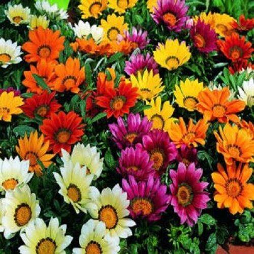 Gazania Seeds Garden Leader Mix Seeds 50 Flower Seeds