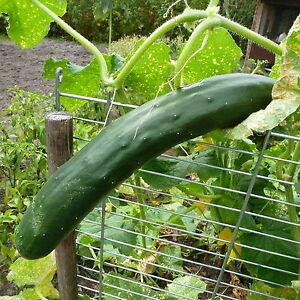 Bulgarische-Gurke-034-Gergana-034-Gurken-Samen-10-Stueck-Samen-aus-Eigenanbau