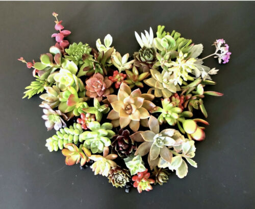 Colorful /& Healthy Succulent Cuttings 25 Varieties FREE SHIP 20 2  Beautiful