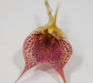 Orchidea Masdevallia Marine
