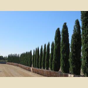 15-Semillas-Cipres-del-Cementerio-CUPRESSSUS-SEMPERVIRENS-Jardin-Garden-Samen