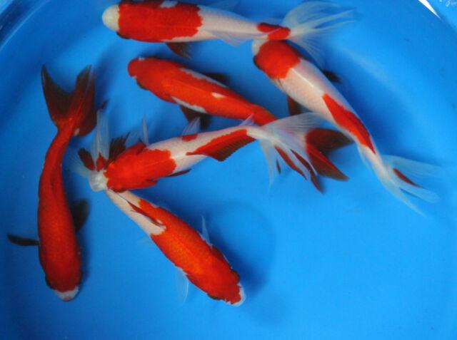 Red and White Wakin Live Goldfish Lg  for Fish Tank Koi Pond or Aquarium