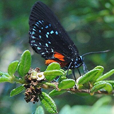 Nashia inaguensis Bahamas Berry, exotic florida native fruits bird seed 30 SEEDS