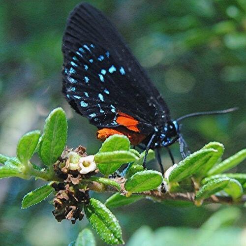 Nashia inaguensis Bahamas Berry exotic florida native fruits bird seed 100 SEEDS