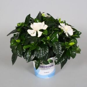 Gardenia jasminoides shrub plant in a 13cm pot heavenly scented image is loading gardenia jasminoides shrub plant in a 13cm pot mightylinksfo