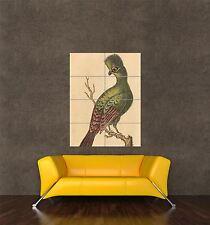 GIGANTE STAMPA POSTER Pittura Natura British XVIII secolo touraco BIRD pdc160
