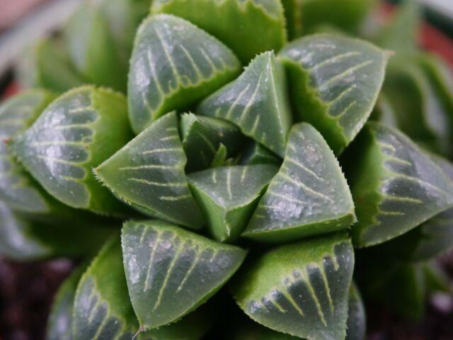 Haworthia Venosa South African Succulent Plant Aloe /'Tessellata/' 8.5cm Pot