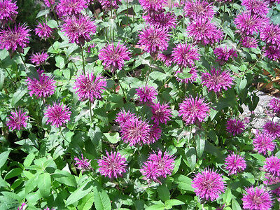 2000 BEE BALM LEMON MINT MONARDA Flower Seeds +FreeGift