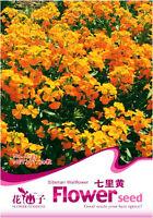 1 Pack 50 Siberian Wallflower Seeds Cheiranthus Allionii Garden Flowers A123