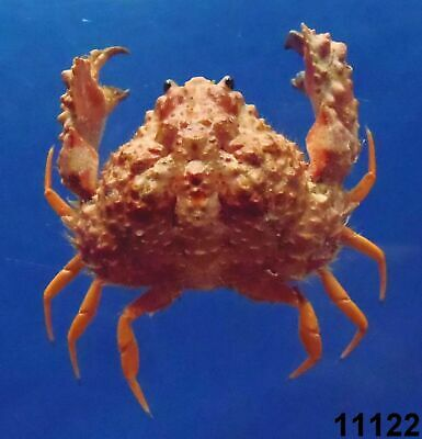 Crustaceans Peeble crab Leucosia anatum Taxidermy Oddities Curios