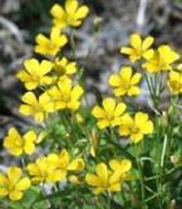 3000 yellow sweet clover melilotus flower seeds gift ebay image is loading 3000 yellow sweet clover melilotus flower seeds gift mightylinksfo