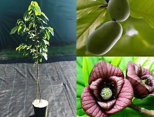 Asimina-triloba-Pflanze-ca-120-cm-Indianerbanane-Pawpaw-selbstfruchtend