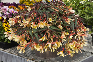 Begonia-Seeds-Bossa-Nova-Yellow-Trailing-Begonia-15-Pelleted-Seeds-NEW
