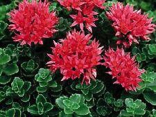 50+ SEDUM SUMMER GLORY FLOWER SEEDS / CHERRY RED / DROUGHT TOLERANT PERENNIAL