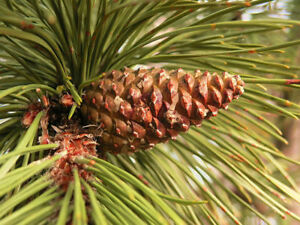 200 seeds Pinus Thunbergii 4g ☆Japanese Black Pine tree seeds UK Stock