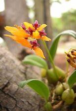 Bulbophyllum Retusisusculum