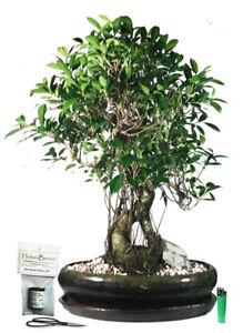 Bonsai tree Banyan Fig - Ficus retusa
