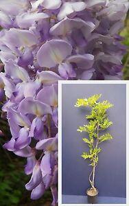 WISTERIA-SINENSIS-Glicine-pianta-Chinese-W-climbing-plant-viola-purple-v18