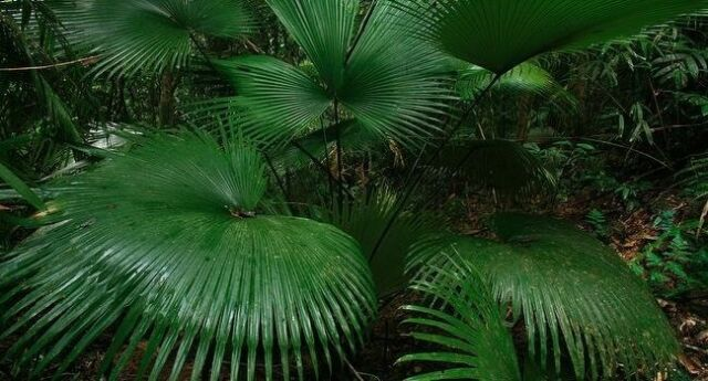 RARE white elephant palm kerriodoxa elegans live plant 7 gal 5-7 leaves
