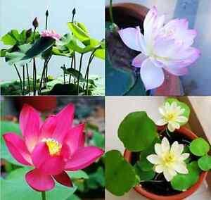Nelumbo nucifera Lotus Lotos Lotusblume 5 Samen Indische Lotosblume
