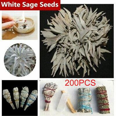 100× CALIFORNIA WHITE SAGE SEEDS SACRED SALVIA APIANA CEREMONIAL AROMATICS NICE