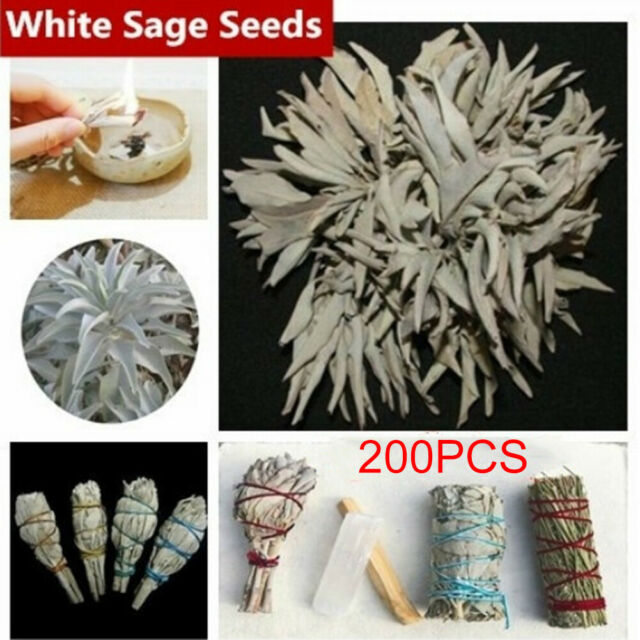 Am_ White Sage Seeds Sacred Salvia Apiana Ceremonial Aromatics Plant Garden Deco