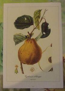 """Ancienne Planche Botanique d'après Gaston Bonnier Cognassier - France - Commentaires du vendeur : """"Ancienne Planche Botanique d'aprs Gaston Bonnier"""" - France"""