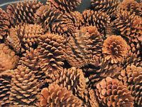 Texas Pine Cones, Lot Of 25 Loblolly & Longleaf (mixture Of 4 To 5-1/2 Tall)