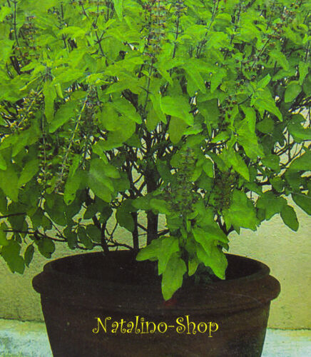 *Indisches Basilikum TULASI* 50 Samen *Ocimum tenuiflorum *HEILIGES BASILIKUM