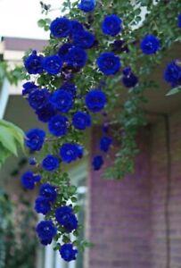 12PCS-Frozen-Mama-Blue-Climbing-Rose-Bush-Flower-Seeds-Rare-Fragrant-amp-Blue