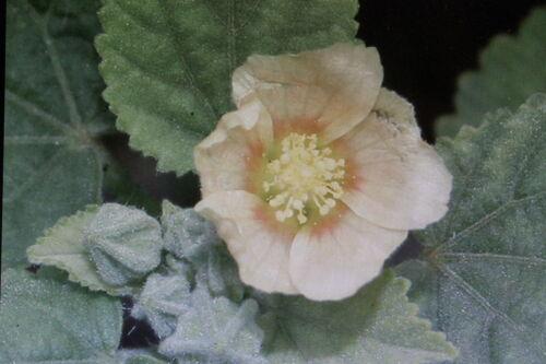 5 Samen Sidakraut,Sida cordifolia#591