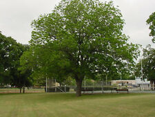 Free Shipping!  2 Hardy Pecan Trees Great Nuts!