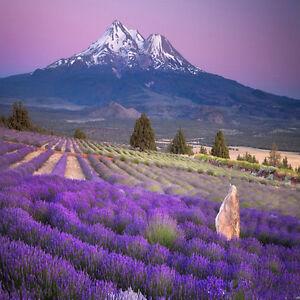 800Pc-Lavender-English-Seeds-Green-Herb-Flower-Plant-Seeds-Garden-Yard-Decr
