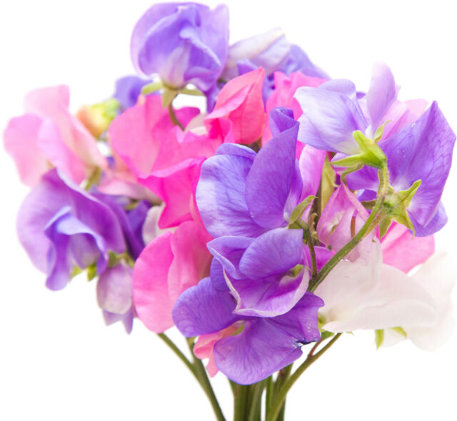 Sweet Pea Type Soap / Candle Making Fragrance Oil 1-16 Ounce ***FREE SHIPPING***