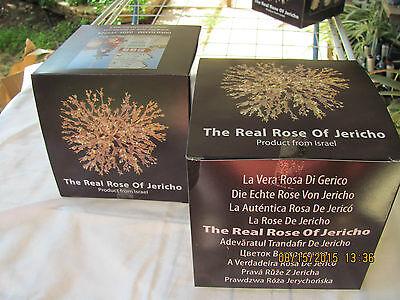 ROSA DE JERICO original de Israel -Jerico familia Anastatica Hierochuntica unica