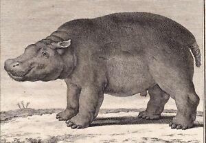Gravure-XVIIIe-Hippopotame-Hippopotamidae-Flusspferde