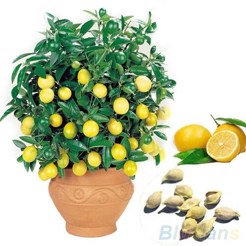 10PCS FASHION RARE LEMON TREE SEEDS INDOOR OUTDOOR HOME GARDEN POT FRUIT PLANT