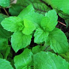 500 Pcs Spearmint Mint Mentha Herb Green Flower Seeds Home Garden Plant Decor