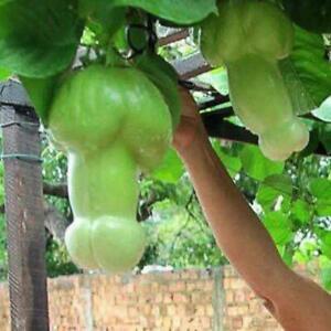 30stk-Bag-Kuerbiskerne-Seltene-Melonen-Bio-Gemuesesamen-Hausgarten-Samen