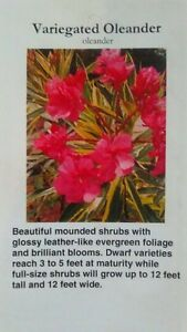 Variegated-Oleander-Plant-Flowers-Easy-Grow-Home-Landscaping-Plants-Shrub-Garden