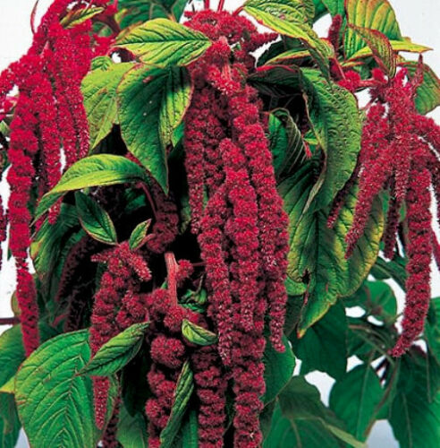 Heirloom Seeds 100ct Tassel Flower Love Lies Bleeding Seeds Red Amaranthus